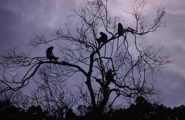 テングザルの群れ 2006年2月 スカウ村