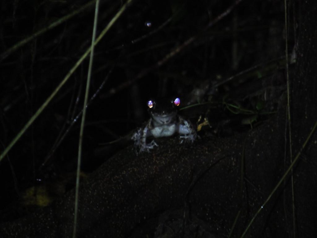 カエル ナイトウォーク  2014.2.12 グヌン・ムル国立公園