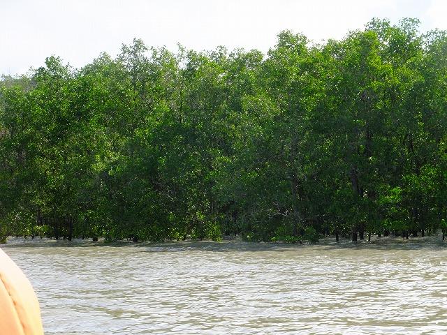 マングローブの林:バコ