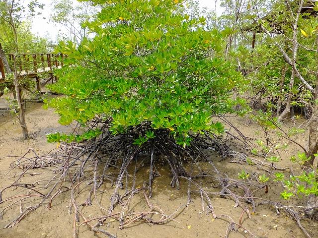 引き潮のマングローブ