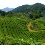キャメロンハイランドのオプショナルツアーでマレーシアの茶農業BOHティー農園を見学 2017.7.3
