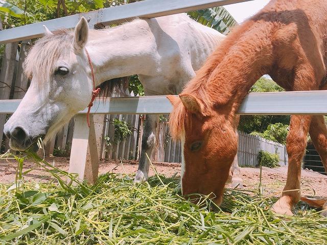タイバンコクの馬
