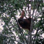 本物の野生オランウータンに会いに行こう