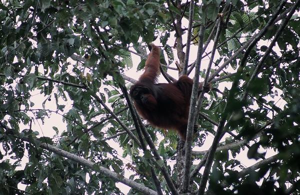 宿舎の森に出たボルネオオランウータン 2005年2月